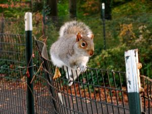 Squirrel on a fence